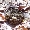 Rattlesnake on A-Loop